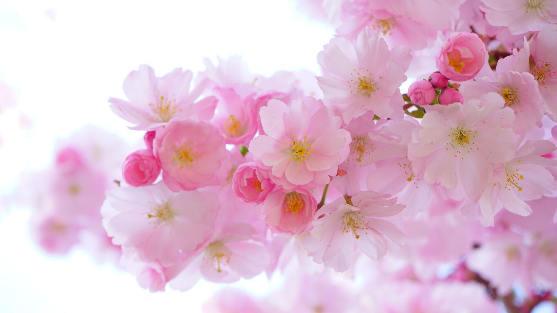 Bloom Blossom Cherry Blossom 54630